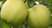 New Golden Delicious made in USA