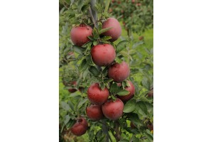 King Roat Red Delicious