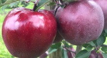 King® Roat Red Delicious